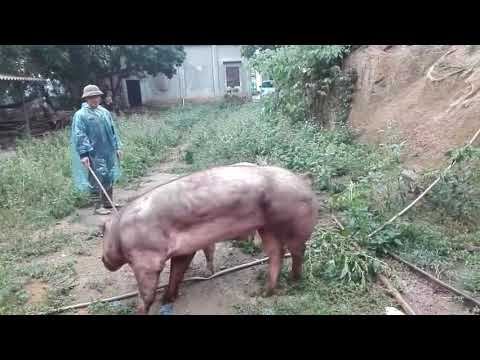Giao phối thành công giống lợn