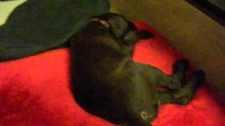 German Shorthaired Pointer Puppy 8 Weeks Old. He is running in the ...