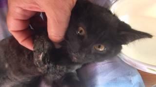 котенок ХАДИ сломаны обе передние лапки..