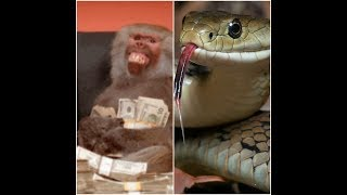 Snake and money swallow money. #whiteafricatv #zoo