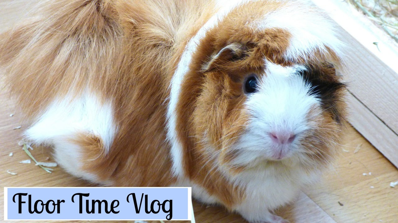 Guinea Pig Floor Time Vlog | Wilmau0027s First Floor Time   YouTube