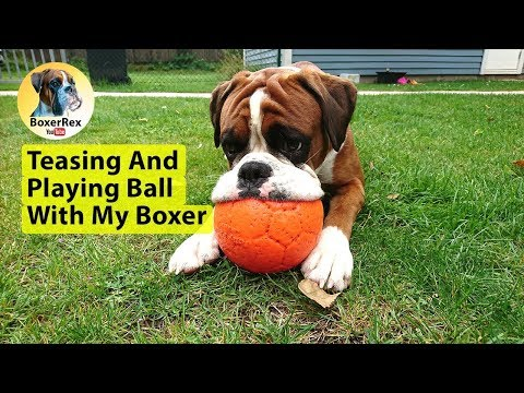 Teasing And Playing Ball With My Boxer Dog Rex 👍