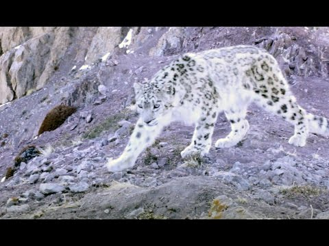 Elusive Snow Leopard Of The Himalayas - Planet Earth II