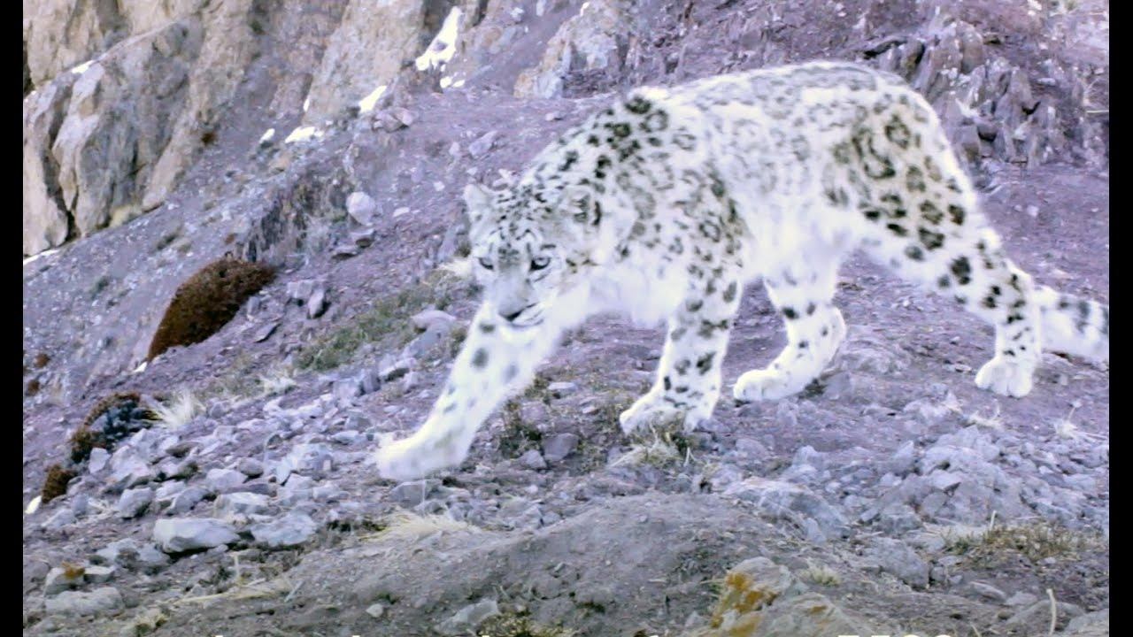 Black Cat Eyes Wallpaper Elusive Snow Leopard Of The Himalayas Planet Earth Ii