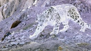 Elusive Snow Leopard Of The Himalayas | Planet Earth II thumbnail