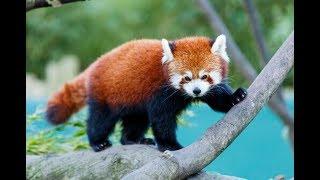 Curiosidades Sobre o Panda Vermelho