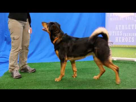 What a good dog! - Talented Tashi takes a bow and other cool tricks