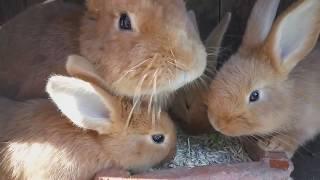 Разведение Кроликов Видео