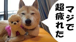 宮ヶ瀬ドライブの後編です。警備任務に励む甲斐犬ハルヱと高所恐怖症の...