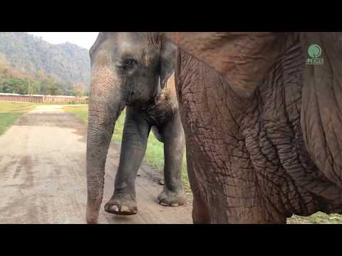 Elephant takes new arrival on a tour of her new home