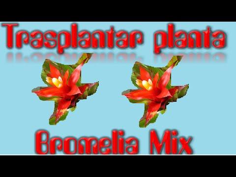 como TRASPLANTAR cualquier PLANTA/ Bromelia Mix/ El ratillo de Juan Valentín