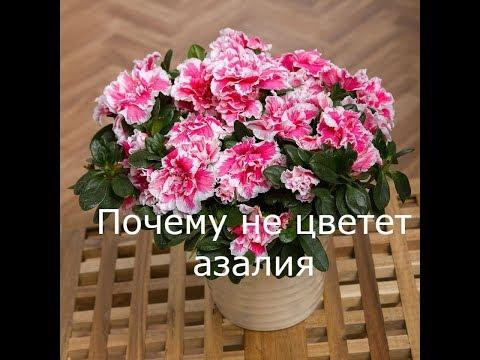 Азалия не цветет? Особенности в уходе