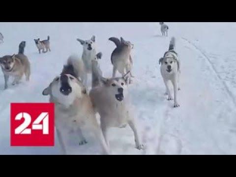 В Ухте школьник палкой отбился от стаи бродячих собак. Видео Россия 24