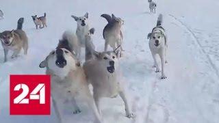 В Ухте школьник палкой отбился от стаи бродячих собак. Видео - Россия 24