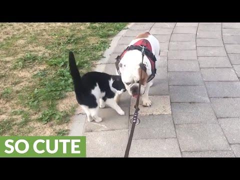Friendly feline can't get enough of bulldog companion