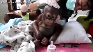 budi el beb orangutn que conmueve al mundo