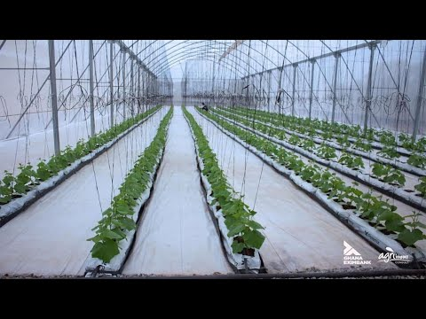 Next Gen Farming: How Ghanaian Graduates are cashing out from Greenhouses. #Entrepreneur #Technology