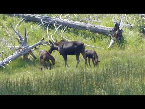 Moose Twins of Northern Yellowstone