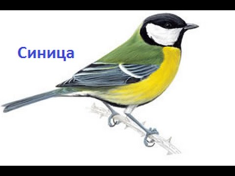 картинки синица птица фото