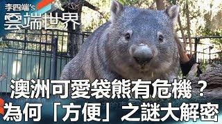 澳洲可愛袋熊有危機?為何「方便」之謎大解密 - 李四端的雲端世界