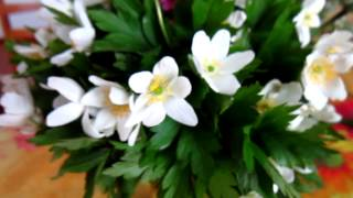 Весенние цветы  - Морозник ( Нelleborus )