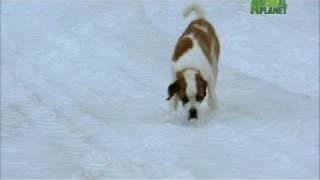 Dogs 101  Saint Bernard