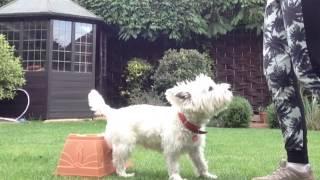 Dog Tricks And Agility - Westie Tricks
