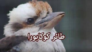 حيوانات - طائر كوكابورا