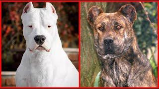 Top10 razas de perros mas INTIMIDANTES del mundo 2da parte