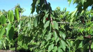 UMass Video Fruit Advisor: super-spindle-axis sweet cherry