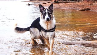 7 Things you Have to Know before Owning a Panda German Shepherd