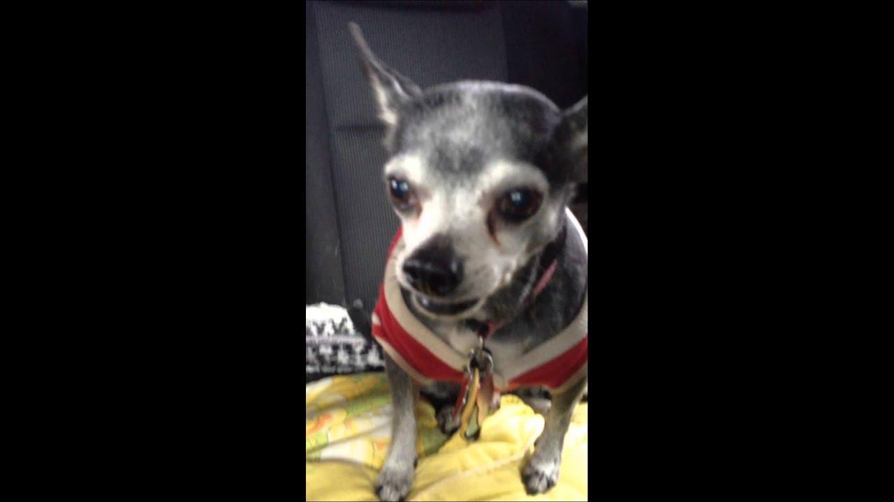 Felix Wheezing Reverse Sneeze Chihuahua Youtube