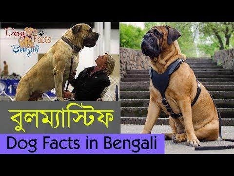 Bullmastiff dog facts in Bengali | World's strongest dog | Dog Facts Bengali | Popular Dogs