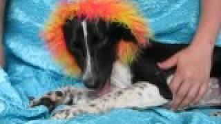 Video of adoptable pet named Josie Hoosier