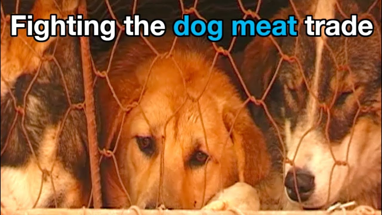 The truth about the Yulin dog meat festival – and how to stop it