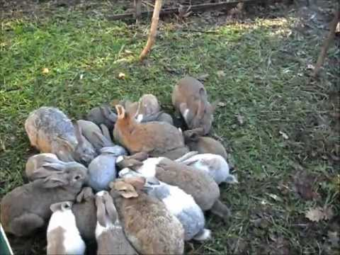 Come allevare galline ovaiole all'aperto - Idee Green