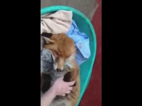 cute fox waking up youtube