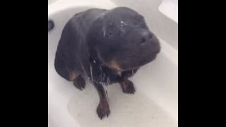 My Lena The Showering Rottweiler On Tv The Feed Cbs News