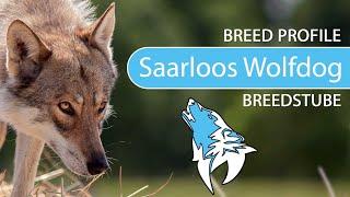 Saarloos Wolfdog Breed, Temperament & Training