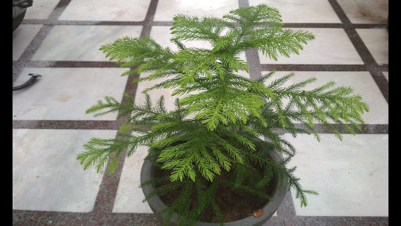 Araucaria Plant Care Hindi How To Grow Care Christmas Tree