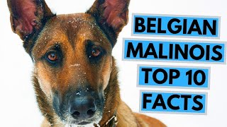 Belgian Shepherd Facts and Information