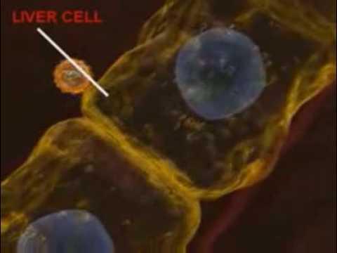 Гепатит С полностью излечим -
