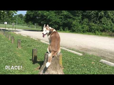 8-Month Old Husky, RJ! Husky Dog Trainers   Off Leash Husky Dog Training