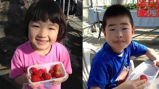 いちご狩り 2015 Strawberry Picking thumbnail