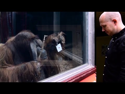 Guy Performs Magic Trick for Orangutan
