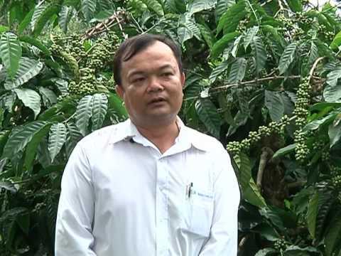 Công ty Ngọc Tùng hướng dẫn cây cà phê làm chắc hạt và nuôi cành dự trữ