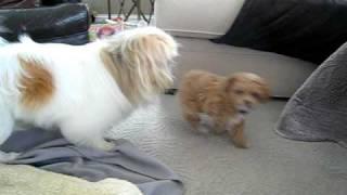 Pekingese Dog Vs Cute Bichon Frise Toy Poodle Puppy Playing 8 Weeks