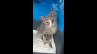 котенок Дымок с поломан лапкой. 2й день после остеосинтеза