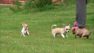 Chihuahua Puppies 1st July 2016