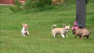 Chihuahua Puppies 1st July 2016